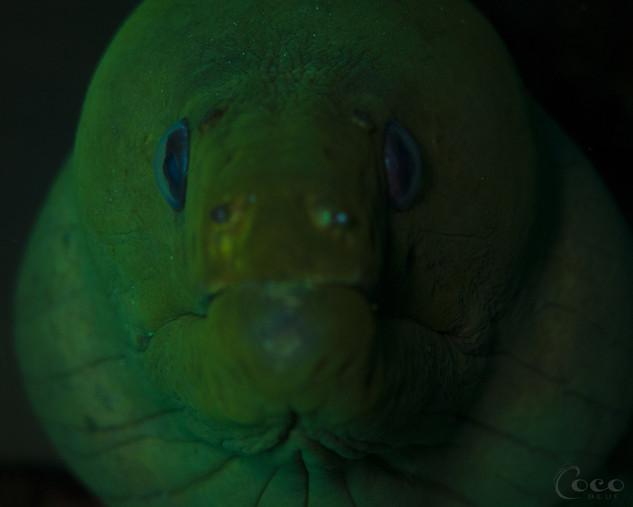 Green Moray Close Up
