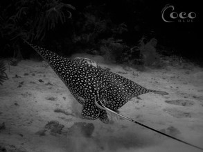 Spotted Eagle Ray Turn R