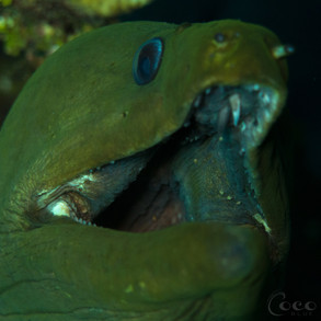 Green Moray Smile
