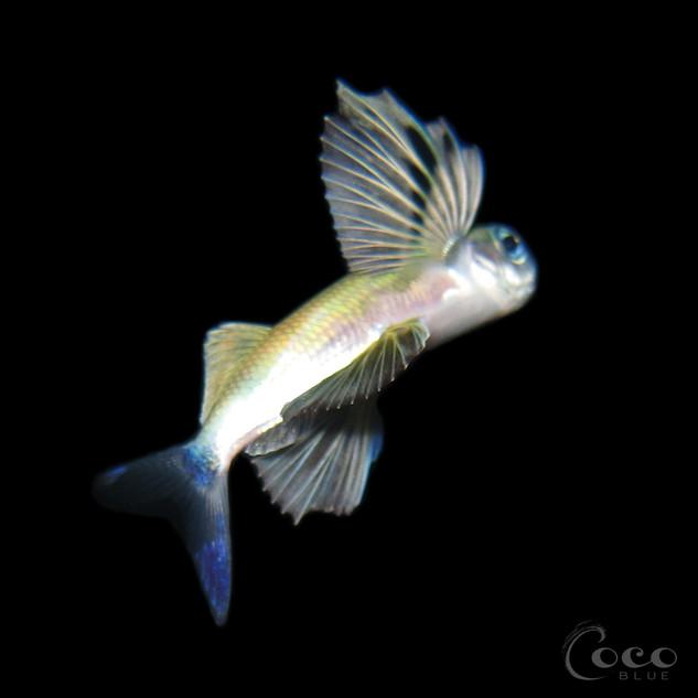 Flying Fish.BW05