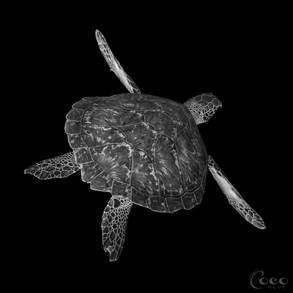 Green Turtle Flying B.W