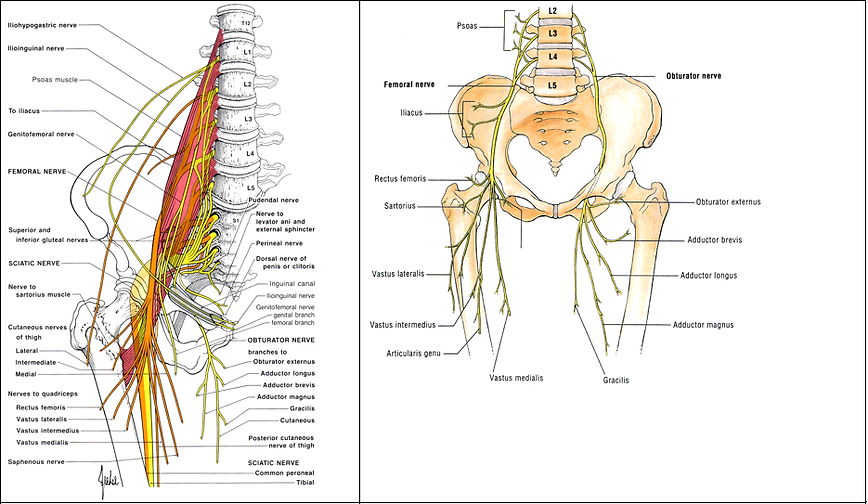 brain and spine school | peripheral nerve - le, Muscles