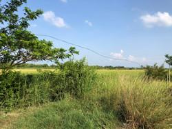 rice fields next to the Farm
