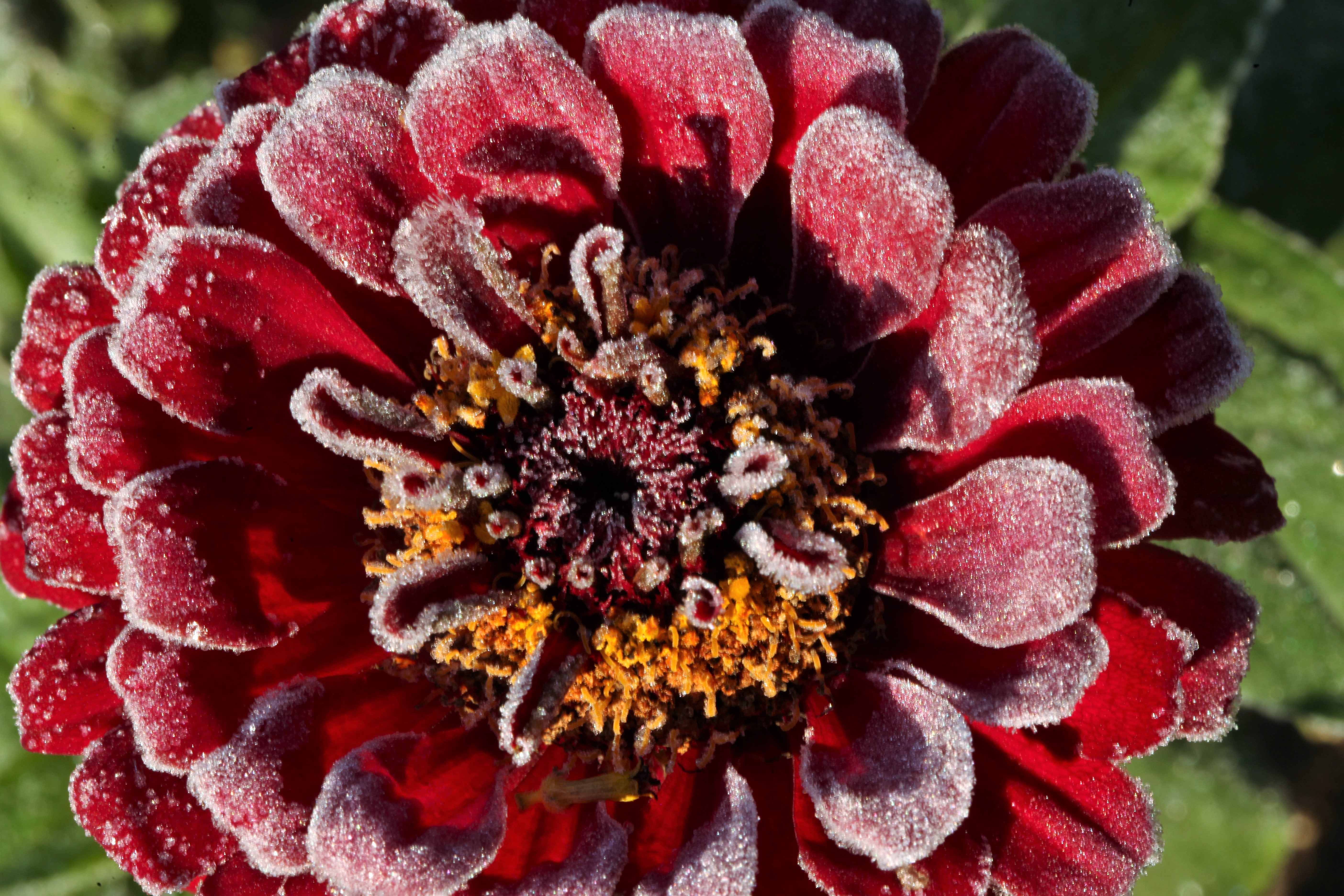 Frosted Zinnia
