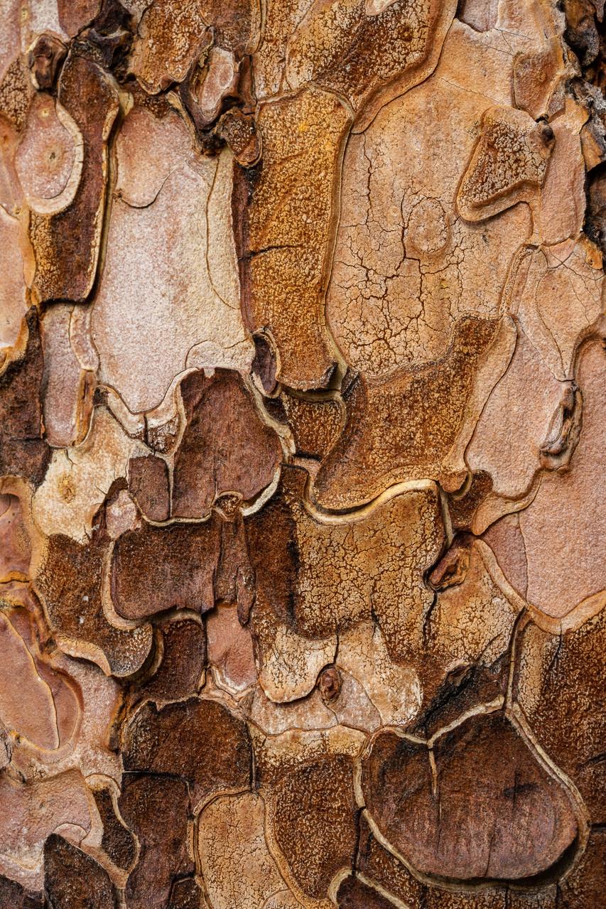 The bark of the Ponderosa tree presents an interesting pattern.