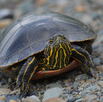 painted turtle crossing the road