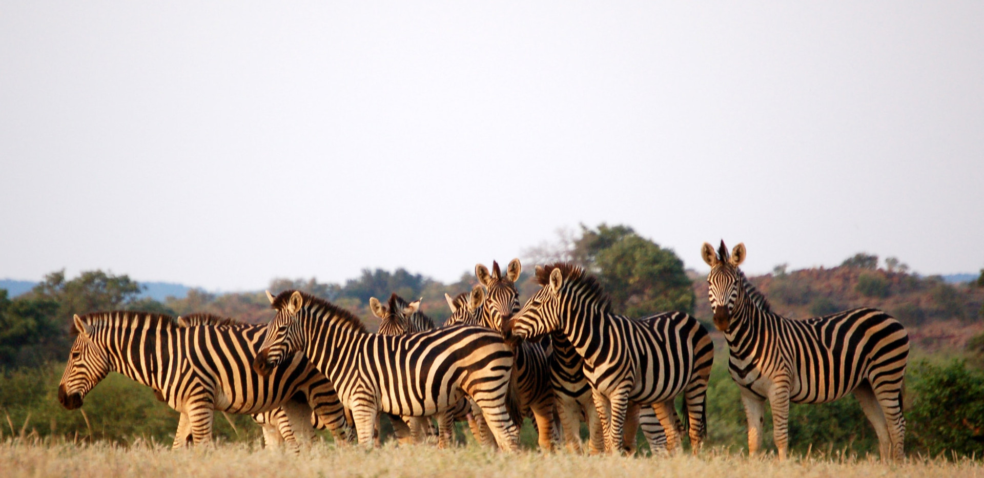 Zebras in Tuli Wilderness