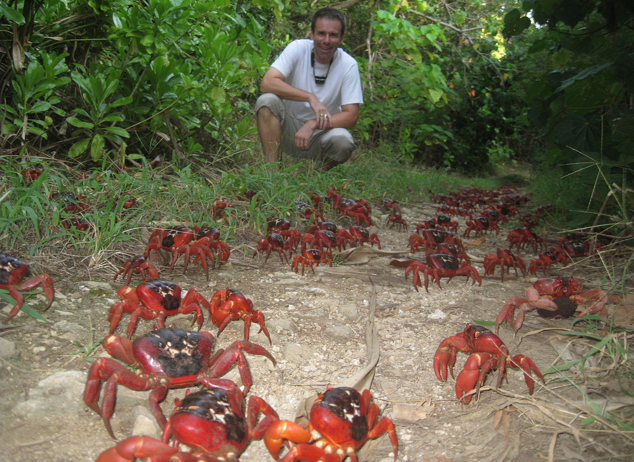 Christmas Island Land Crabs