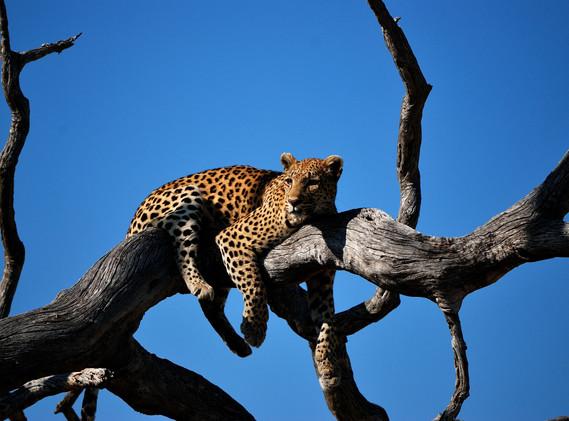 Leopard in Okavango Delta, Botswana