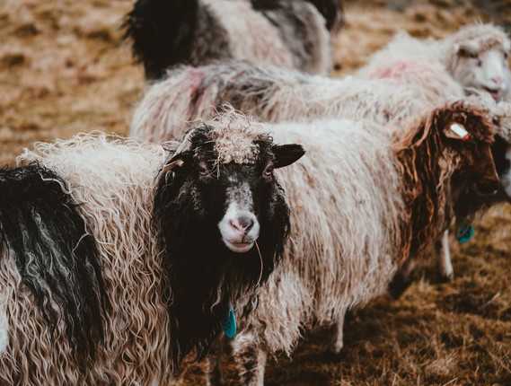 Faroe Islands' Sheep