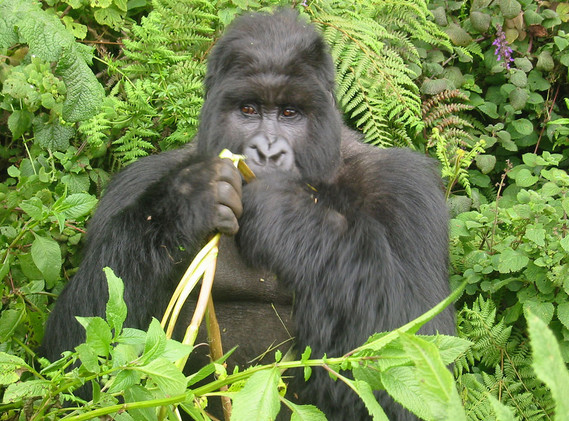 Gorillas in Gabon