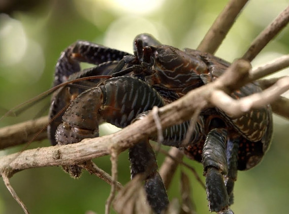 Up to three feet across, coconut crabs are the largest on earth, and they team over Nikumaroro.