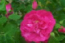 "Rosa ""John Cabot"""