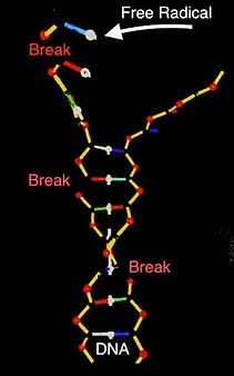 DNA Breaks Due to Vibrational Molecular