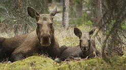 moose mom.jpg