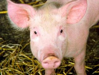 你以為豬舍都又臭又髒嗎?打造養豬場的循環經濟,豬有尊嚴,連豬糞大家都搶著要