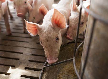 改善廚餘餵豬品管 比談美豬進口更重要