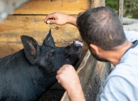 口蹄疫拔針,是台灣畜殖產業的新起點,不是終點!
