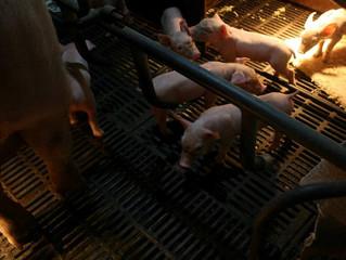 養豬發財的好生意