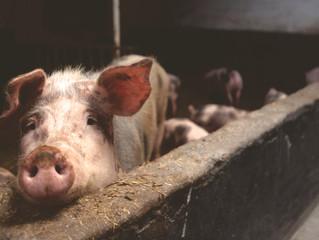 防疫,停止廚餘餵豬!