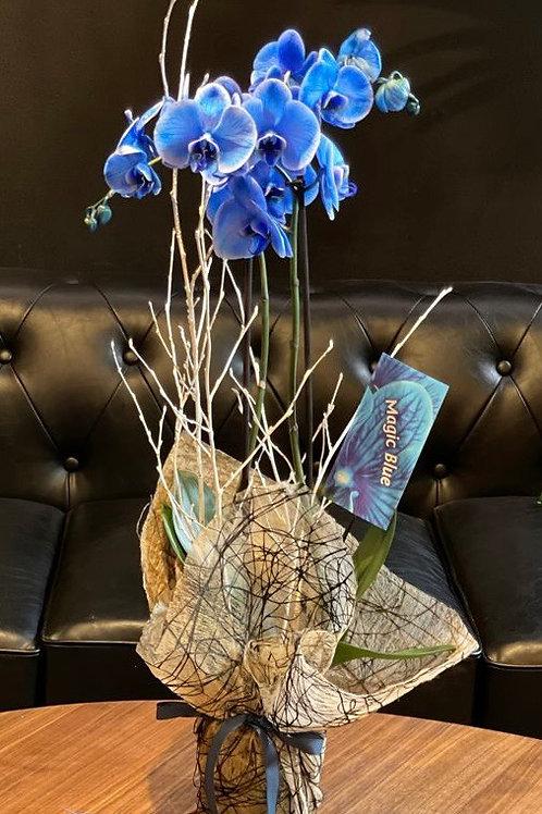 Orquídeas phalaenopsis azul