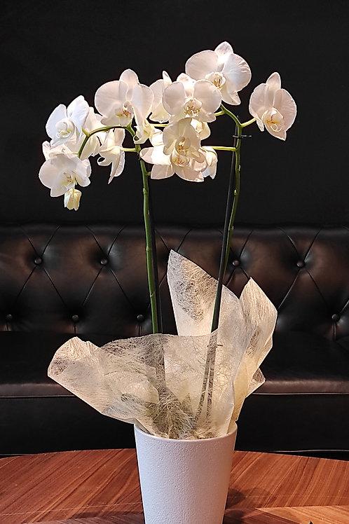 Orquídea blava