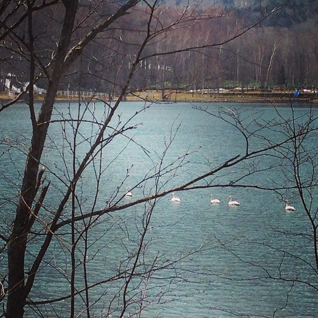 Swans at Minamioka Lake in May