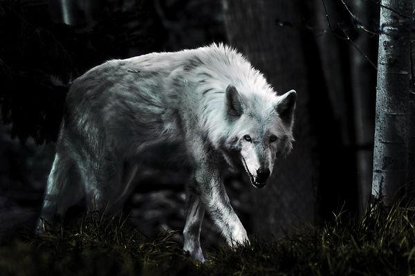 light dark wolf.jpg