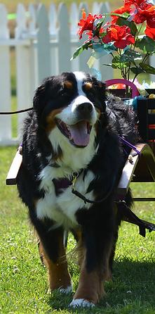 Bernese Mountain Dog; Berner; Drafting