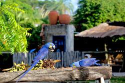 Hyacinths feeding on palm nuts