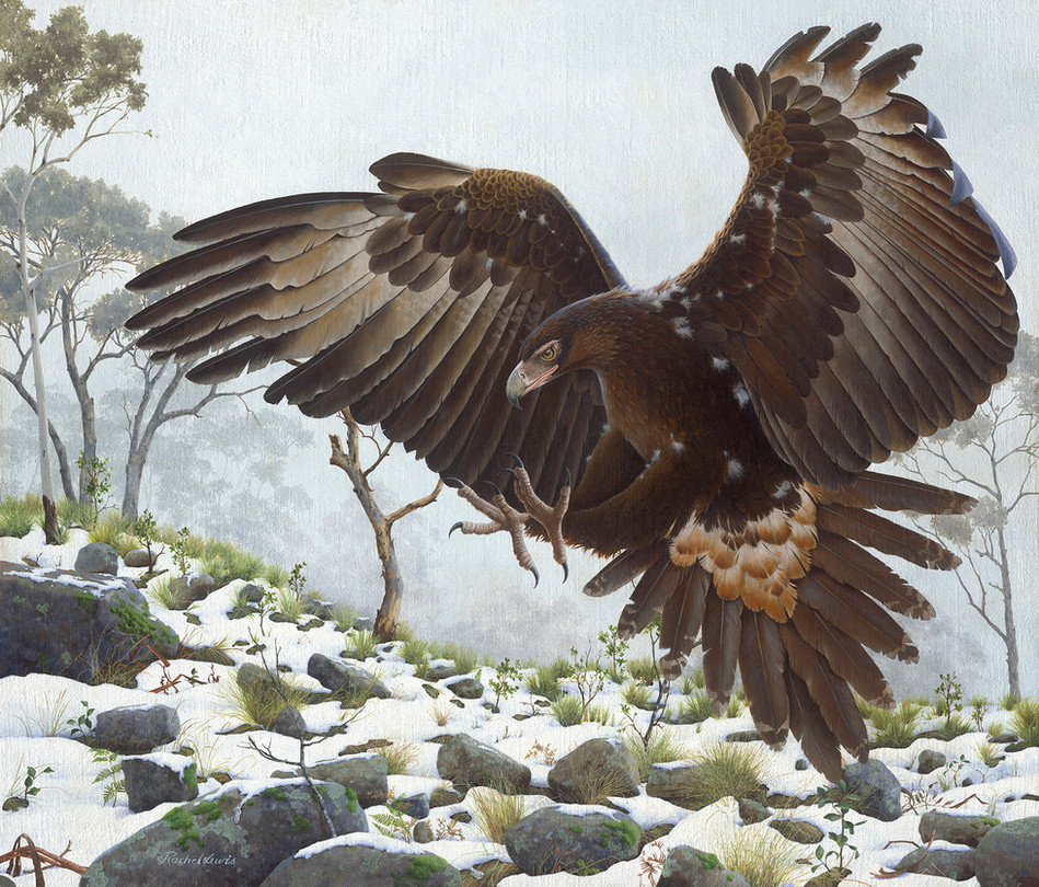 A Wedge-tailed Eagle zeroing in on its prey