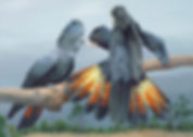 Red-tailed Black Cockatoos.jpeg