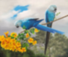 Spix's Macaws.jpg