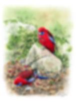 Crimson Rosellas.jpg