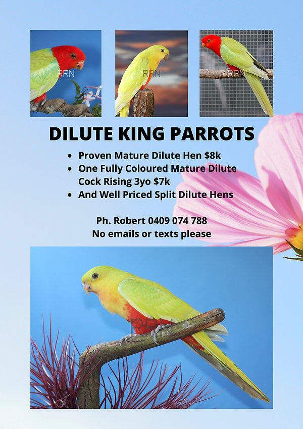 Dilute King Parrots.jpg