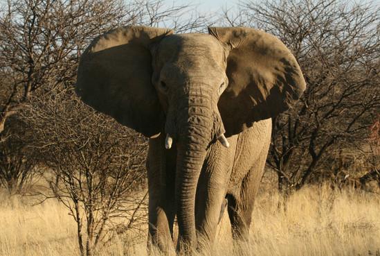 Elephant in Namibia during a big five safari - (c) Sonja Piontek