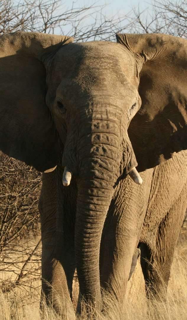Elephant in Namibia during a big five safari - (c) Sonja Piontek