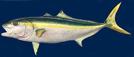 california-yellowtail-fish-mount-main  FOR LOGO LEFT.jpg