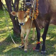 Mum and calf