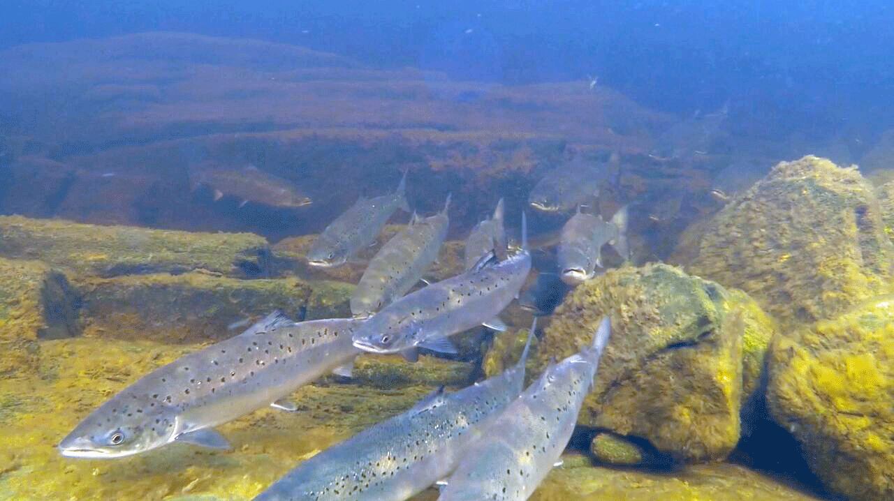 Salmon returning
