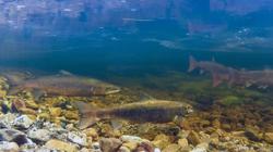 Atlantic salmon returning to spawn