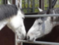 In der Aubsildung zum Pferdeverhaltenstrainer IVK wird Wissen zur Pferdepsyche und zum Pferdeverhalten vermittelt