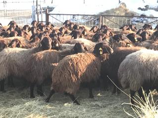 Anarom koyunlarının anne tarafından yerliataları