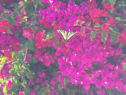 bougainvillea and butterfly