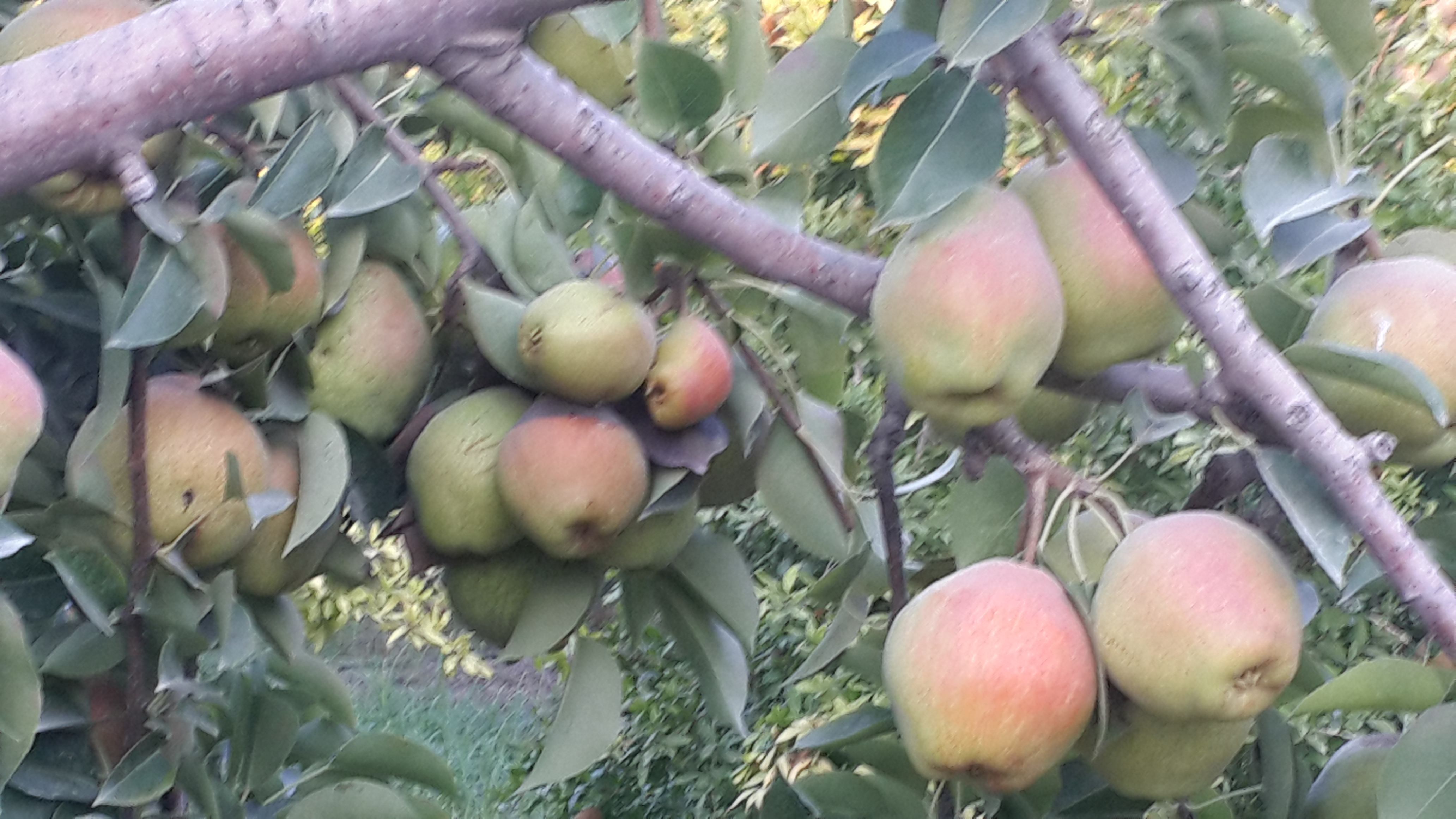Organic pear trees