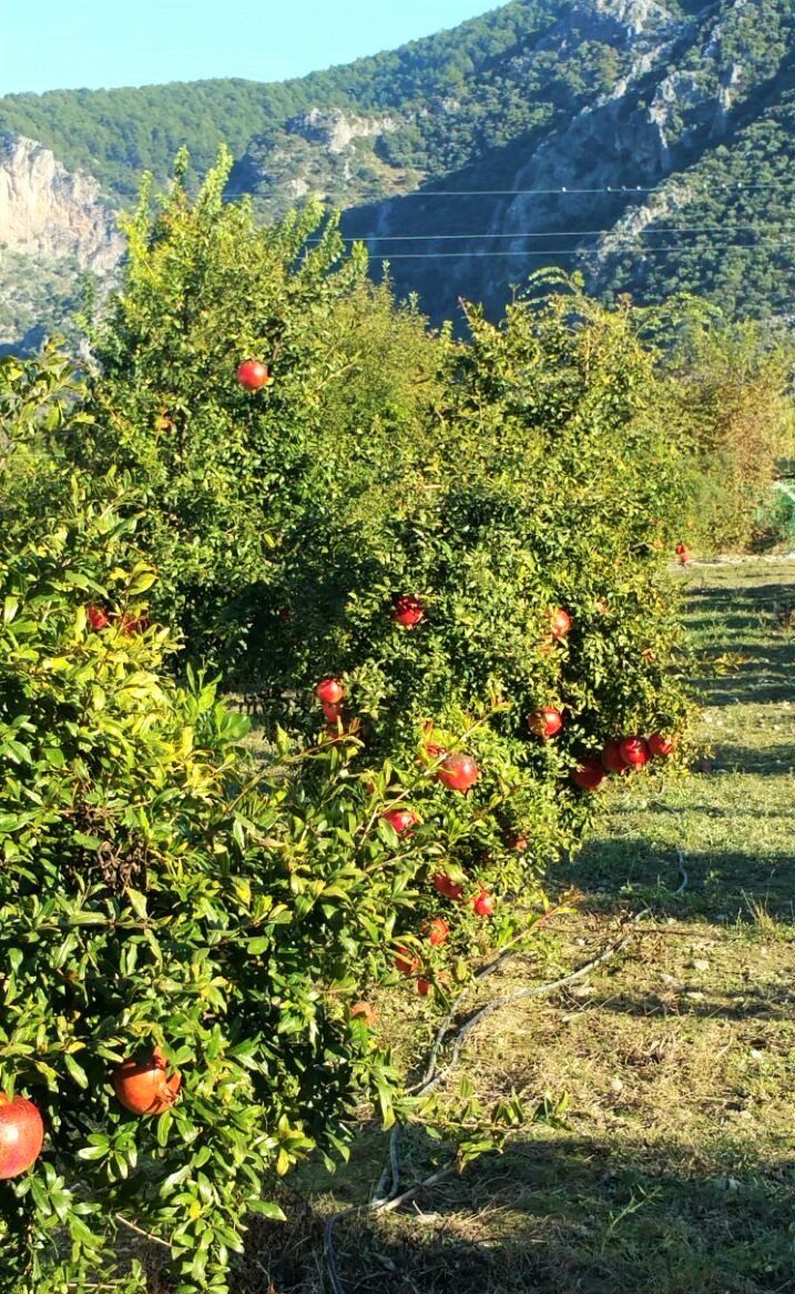 Pomegranate trees in farm
