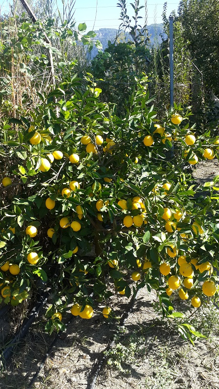 Organic lemon trees in farm