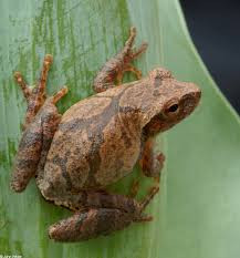 Science Snippets: Spring Peepers and Pinkletinks