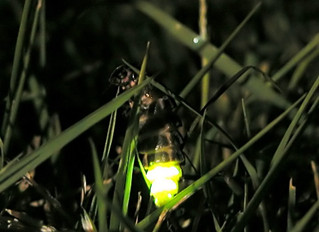 Glow-Worms: Nature's Lanterns in World War I Trenches