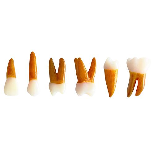 Kit de 6 Dentes Permanentes Radiopacos